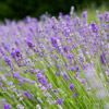 'Folgate' English Lavender