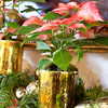 Poinsettia Presentation