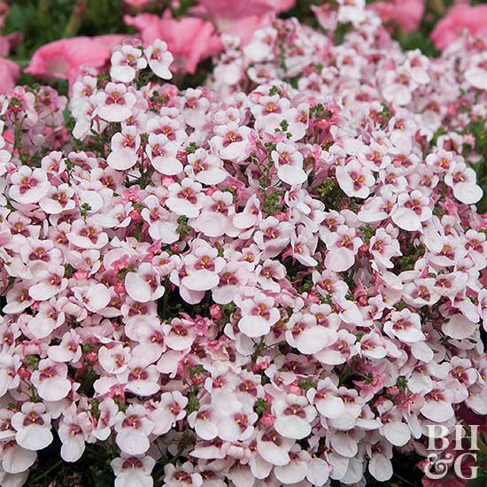 Better Homes And Gardens Sweepstakes >> Diascia