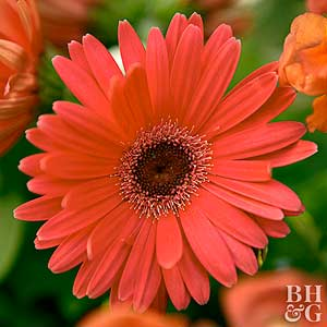 do gerbera daisies come back every year