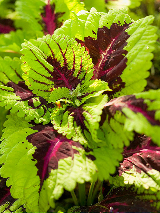 Coleus Shade Loving With Veined Pattern
