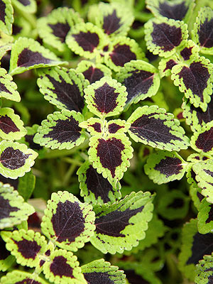 Coleus, shade-loving trailing