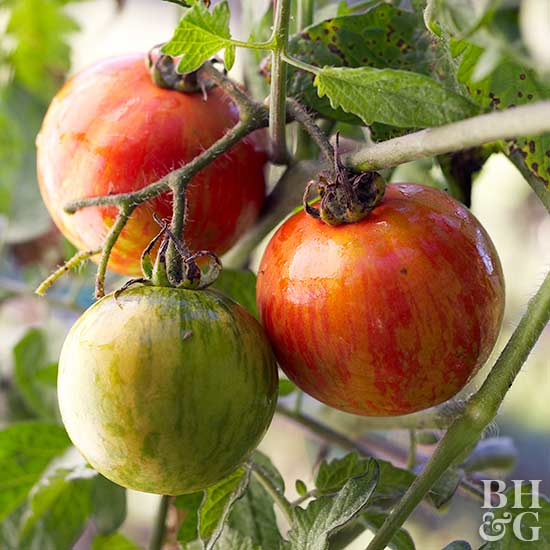 9 Must-Know Tomato Diseases