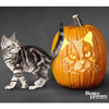American Shorthair Cat Pumpkin