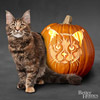 Maine Coon Pumpkin