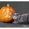 Scottish Fold Cat Pumpkin