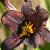 'Sweet Hot Chocolate' Daylily