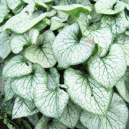 Best Silver Leaf Plants For Your Garden