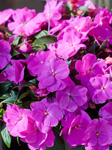 Top Annuals for Shade