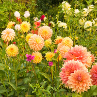 Summer Bulb Favorite: Dahlia