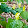 Yellow Trillium