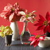 Decorate with Poinsettias