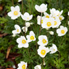 Snowdrop Anemone