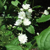 'Miniature Snowflake' Mock Orange