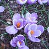 'Grand Maitre' Crocus