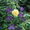 Roses and Clematis: Kindred Spirits