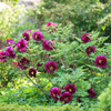 Tree Peony 'Black Pirate'