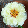 Tree Peony 'Age of Gold'