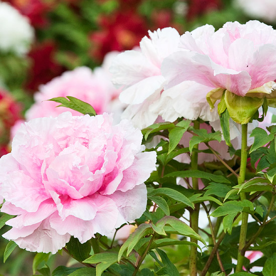 Top Tree Peony Varieties