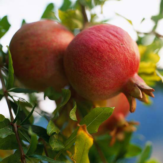 Top Fruit Trees For Gardens In The Southwest