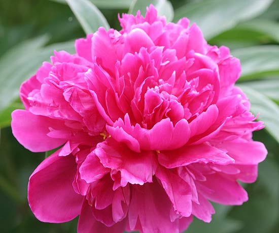 Best Fragrant Flowers For Gardens In The Midwest
