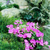 Annuals for the Rock Garden