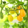 Tomato 'Cuban Yellow Grape'