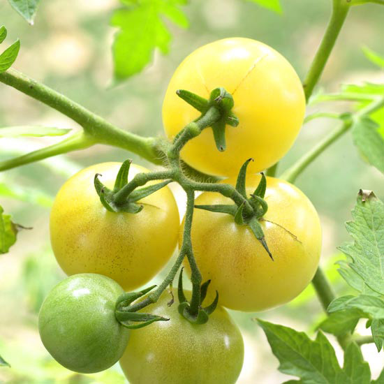 Tomato 'Super Snow White'