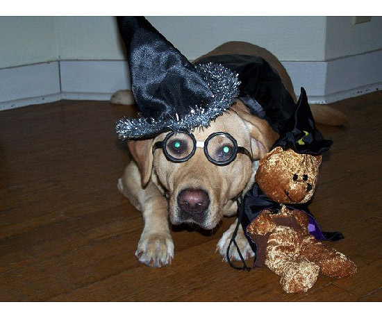 your best photos dogs in halloween costumes - Halloween Costumes For Labradors