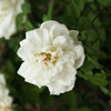 Snowdrift Shrub Rose