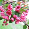 Flowering Crabapple