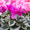 Soft-as-Silk Cyclamen