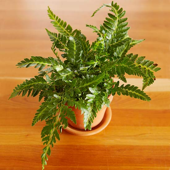 Variegated Spider Fern