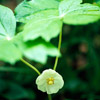 Mayapple