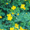 Celandine Poppy