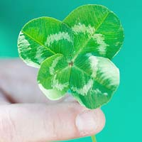 Four-Leaf Clovers: They're Lucky!