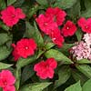 Spreading Carmine Red SunPatiens