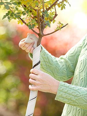 Tree and shrub maintenance calendar - Protecting fruit trees in winter ...
