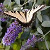 Summer: Butterfly Bush