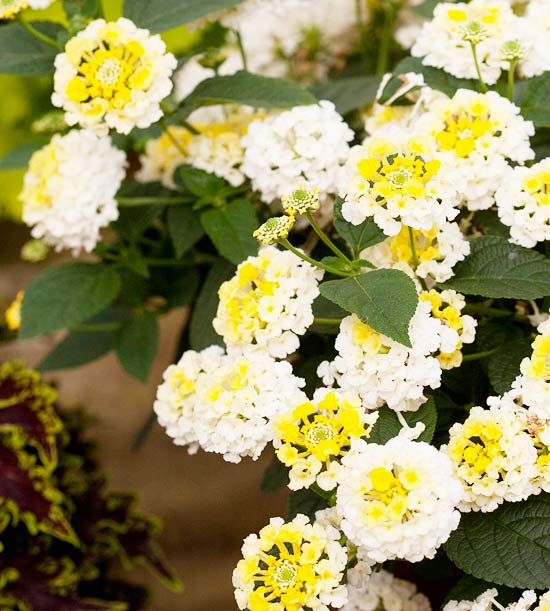 'Lucky Lemon Glow' Lantana