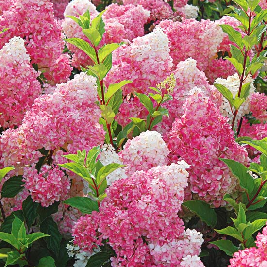Growing Guide for Vanilla Strawberry Hydrangea