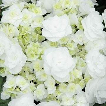 Growing Guide for Wedding Gown Hydrangea
