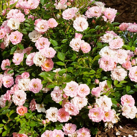 Oso Easy Happy Petit Pink Shrub Rose