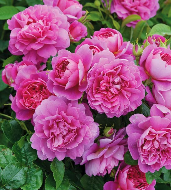 Princess Anne English Rose