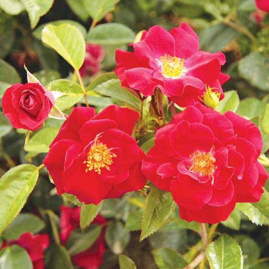 Thrive! Shrub Rose