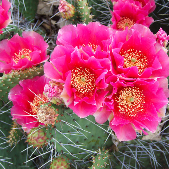 Growing Cactus Plants in Cold-Winter Climates