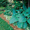 'Big Daddy' Hosta