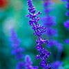 Perennial Sage