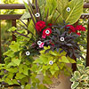 Use Geraniums as Accent Plants