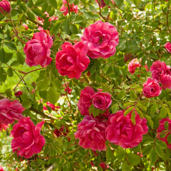 Top Flowering Shrubs For The Mountain West And High Plains